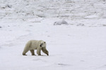 Roaming the tundra near Hudson Bay and Churchill, Manitoba, Canada