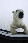 A curious polar bear comes to the window of the Tundra Buggy near Hudson Bay and Churchill, Manitoba, Canada