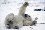 Grooming and relaxing on the tundra near Hudson Bay and Churchill, Manitoba, Canada