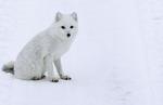 An arctic fox rests on the tundra near Hudson Bay and Churchill, Manitoba, Canada