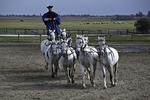 A cowboy rides standing on horseback in the Hungarian Puzta, Kalocsa, Hungary