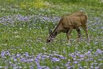 A deer feeds among wildflowers in Waterton Peace Park, Alberta, Canada
