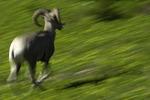Rocky Mountain bighorn sheep running, Logan Pass, Glacier National Park, Montana