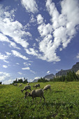 Rocky Mountain Bighorn Sheep grazing atop Logan Pass, Glacier National Park, Montana