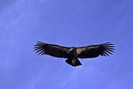 A California condor soars over the rim near the Bright Angel Hotel, South Rim, Grand Canyon National Park, Arizona