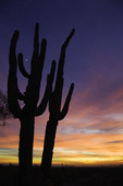 Saguaro and crescent moon at sunset, Scottsdale, Arizona