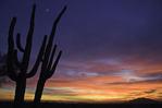Saguaro and crescent moon at sunset, Scottsdale, Arizona