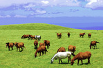 Horses graze in pastures high above the Pacific Ocean, in the Kohala Mountains, Big Island, Hawaii