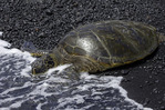 Green sea turtle resting on Punalu'u Black Sand Beach, Big Island, Hawaii