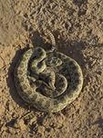 Rattlesnake in Blue Canyon, Arizona