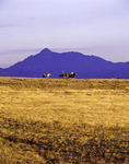 Cowboys ride at sunrise on the grasslands of the San Rafael Valley, Mt. Wrightson in the background, southern Arizona