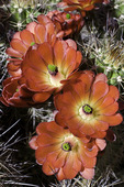 Claret cup cactus blossoms, Arizona