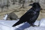 Raven in snow, Grand Canyon National Park, Arizona