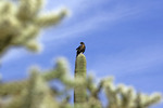 Harris' hawk on saguaro cactus, Organ Pipe Cactus National Monument, Arizona