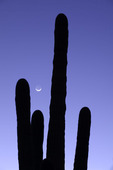 Crescent moon over a saguaro cactus, Arizona