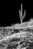 Monochrome infrared filter applied. Saguaro cactus and poppies, Rogers Canyon, Superstition Mountains, Arizona