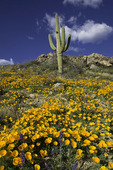 Mexican gold poppies and a saguaro cactus, near Roger's Canyon, Superstition Mountains, Arizona