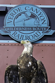 Sonora the bald eagle, Verde Canyon Railroad, Verde Valley, Arizona