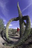 Julie Quarry explores the Sonoran Desert in Saguaro National Park, Tucson, Arizona