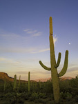 Moonrise at sunset over saguaro cactus, facing east in Saguaro National Park, Tucson, Arizona