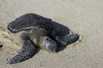A green sea turtle rests on the beach of the Four Seasons Hualalai, Big Island, Hawaii
