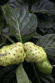 Noni fruit on the tree, Pahoa, Hawaii