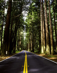 Highway through a redwood grove, northern California