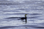 A blue-eyed black cormorant fishes the calm waters of Monterey Bay, Monterey, California