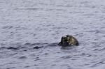 A sea otter eats in Elkhorn Slough, Moss Landing, Monterey County, California