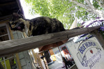 A hungry cat is part of the ambience at Blue Heaven, Key West, Florida