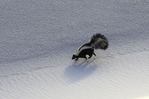 Skunk on the gypsum sand, White Sands National Monument, New Mexico