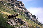 Young brown bears (grizzlies) near Many Glacier Lodge, Glacier National Park, Montana