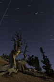 Bristlecone pines writhe and survive into another starry starry night in the Twisted Forest, near Brian Head, Utah