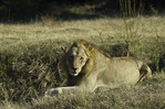 Male lion in South Luangwe National Park, Zambia