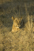 A lioness rests in South Luangwe National Park, Zambia