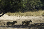 Lions cross a dry wash in South Luangwa National Park, Zambia