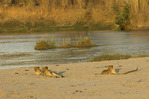 Lions roaming the bank of the Kapamba River, South Luangwe National Park, Zambia