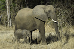 Elephants roam in South Luangwe National Park, Zambia
