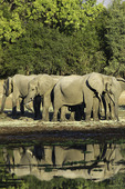 A 'parade' of elephants grazes near a pool at Chendini bush camp, in South Luangwa National Park, Zambia