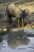 Elephant at Bilimungwe bush camp, South Luangwa National Park, Zambia, Africa