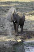 Elephant at Bilimungwe bush camp, South Luangwa National Park, Zambia, Africa