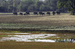 Elephants roam near Chindeni bush camp, South Luangwe National Park, Zambia