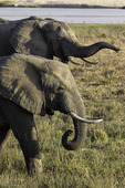 Elephants graze in South Luangwe National Park, Zambia