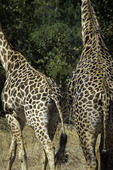 Giraffes roam in in South Luangwa National Park, Zambia