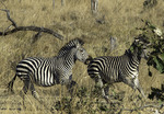 Zebras frolic in South Luangwa National Park, Zambia, Africa