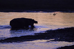 A hippo at twilight in the Luangwa River, South Luangwa National Park, Zambia, Africa