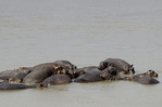 Hippos stay cool in the Luangwa River, in South Luangwa National Park, Zambia