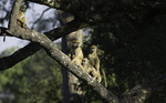 Yellow baboons watch and wait in South Luangwa National Park, Zambia, Africa