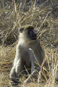 A male yellow baboon in South Luangwa National Park, Zambia, Africa
