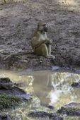 A yellow baboon rests by waterhole at Bilimungwe bush camp, in South Luangwa National Park, Zambia, Africa